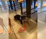 Small #10 Rottweiler