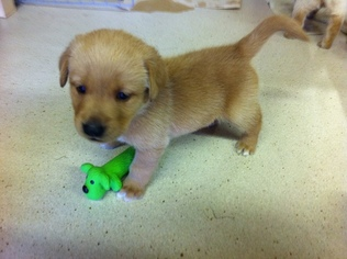View Ad Golden Labrador Puppy For Sale Washington Chehalis Usa