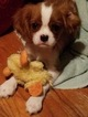 Cavalier King Charles Spaniel Puppy For Sale in BEAUMONT, TX,