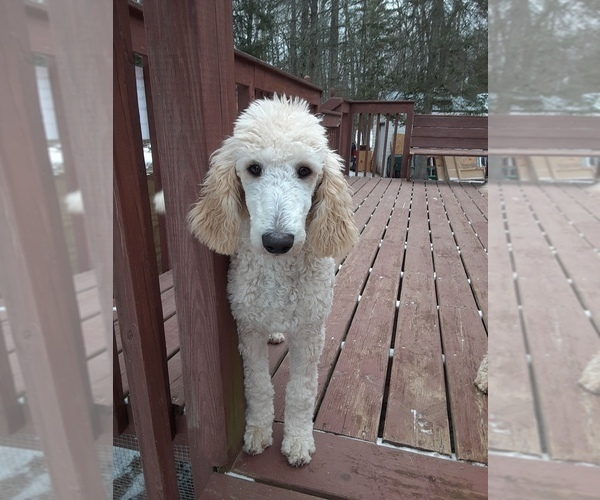 Medium Photo #1 Poodle (Standard) Puppy For Sale in WAUSAUKEE, WI, USA