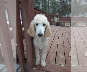 Poodle (Standard) Dog for Adoption in WAUSAUKEE, Wisconsin USA