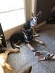 Small #24 German Shepherd Dog