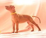 Puppy 3 Pharaoh Hound
