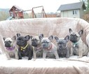 French Bulldog Puppy For Sale in MARYSVILLE, WA,
