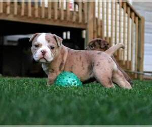 Olde English Bulldogge Puppy for sale in BREMEN, GA, USA
