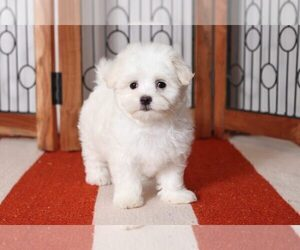 Maltese Puppy for sale in NAPLES, FL, USA