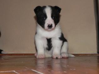 Puppyfinder com: Karelian Bear Dog puppies puppies for sale