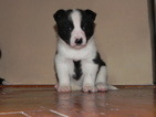 Karelian Bear Dog Puppy For Sale in GREENVILLE, MS, USA
