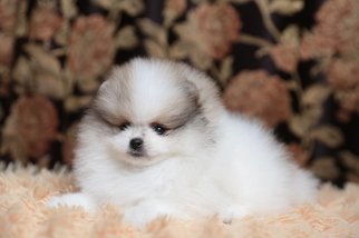 View Ad Pomeranian Puppy For Near