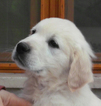 Golden Retriever Puppy For Sale in HIDDENITE, NC,