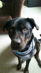 Labrador Retriever-Siberian Husky Mix Dog For Adoption in CARTHAGE, NY, USA