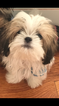 Small Photo #4 Mal-Shi Puppy For Sale in MIDDLETOWN, NY, USA