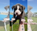 Puppy 6 American Pit Bull Terrier