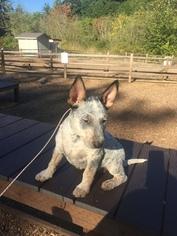 Australian Cattle Dog Puppy For Sale in SEATTLE, WA, USA