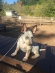 Australian Cattle Dog Puppy For Sale in SEATTLE, WA, USA