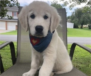 English Cream Golden Retriever Puppy for sale in DOSS, MO, USA