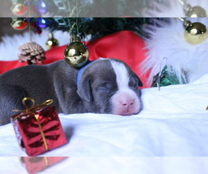 American Pit Bull Terrier Puppy for sale in GRAHAM, WA, USA