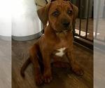 Small Photo #4 America Bandogge Mastiff-Mastiff Mix Puppy For Sale in FORT GARLAND, CO, USA