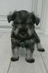 Toy Miniature Schnauzer puppies