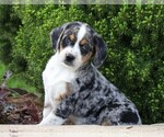 Small #5 Australian Shepherd-Beagle Mix