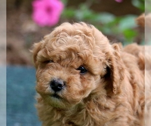 Poodle (Miniature) Puppy for sale in MORGANTOWN, PA, USA