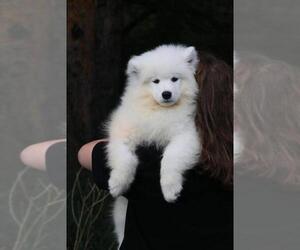 Samoyed Dog for Adoption in Scarborough, Ontario Canada