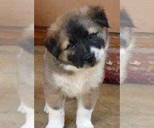 Akita Puppy for sale in LANSING, MI, USA