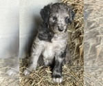 Puppy 3 Bordoodle