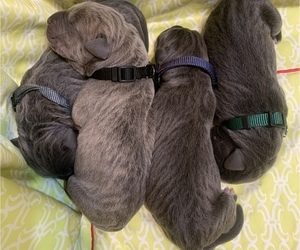 Cane Corso Puppy for Sale in MIAMI, Florida USA