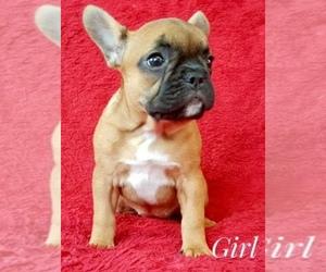 French Bulldog Puppy for Sale in KIRKLAND, Washington USA