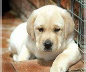 Labrador Retriever Puppy for sale in ANN ARBOR, MI, USA