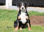 Greater Swiss Moutain Dog Puppy for Sale