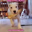 Small Photo #138 Dogo Argentino Puppy For Sale in PINEVILLE, MO, USA