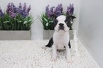 Boston Terrier Puppy For Sale in LAS VEGAS, NV, USA