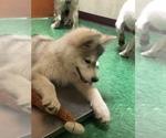 Small Photo #22 Wolf Hybrid Puppy For Sale in FILLMORE, LA, USA