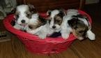 Biewer Terrier Puppy For Sale in SARASOTA, FL, USA
