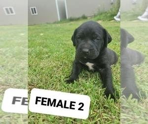 Mastiff Puppy for sale in WESTPORT, IN, USA
