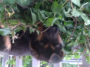 German Shepherd Dog Puppy For Sale in WILLIAMS, OR, USA