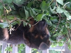 German Shepherd Dog Puppy For Sale in WILLIAMS, OR,