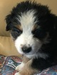 Australian Cattle Dog Puppy For Sale in BELLEVUE, NE,