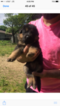 German Shepherd Dog Puppy For Sale in MASTIC, NY, USA
