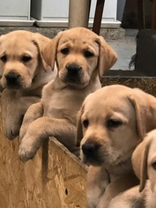 Labrador Retriever Puppy For Sale in MONONGAHELA, PA, USA