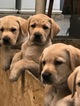 Labrador Retriever Puppy For Sale in MONONGAHELA, PA, USA