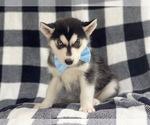Small #11 Siberian Husky