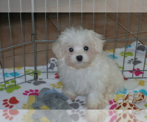 Maltese Puppy for Sale in ORO VALLEY, Arizona USA