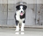 Small #3 Miniature Australian Shepherd