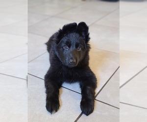 German Shepherd Dog Dog for Adoption in WARREN, Massachusetts USA