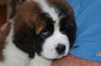 Saint Bernard Puppy For Sale in CHRISTIANA, PA