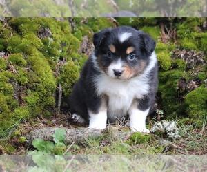 Australian Shepherd Puppy for sale in CHEHALIS, WA, USA