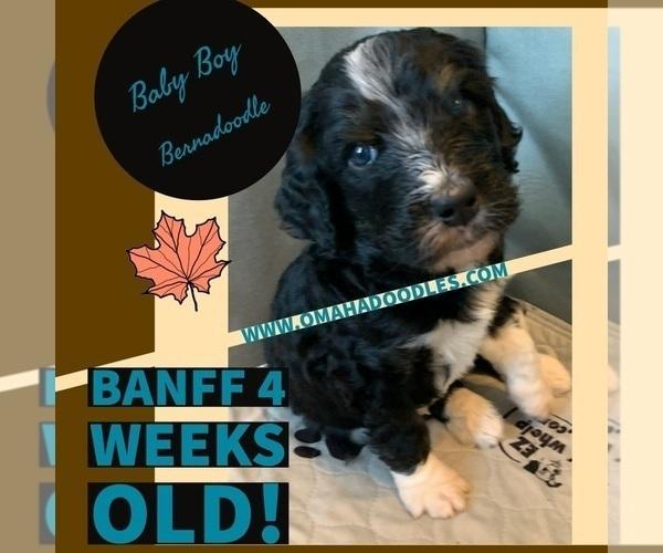 Medium Photo #3 Bernedoodle Puppy For Sale in OMAHA, NE, USA